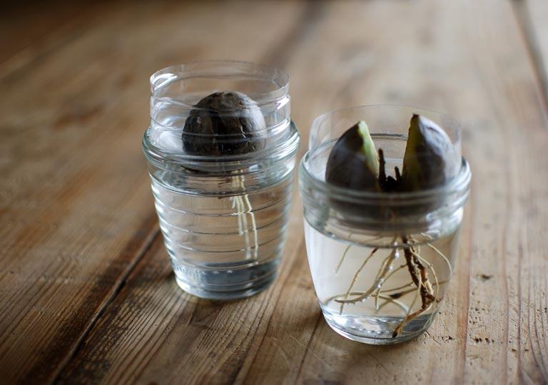 水耕栽培での根の長さを比較した様子