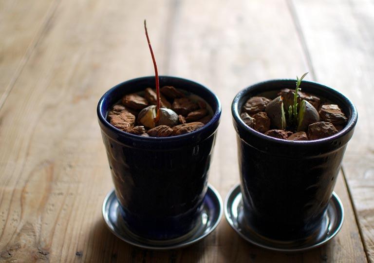 土に植えたばかりの頃の芽の長さの比較