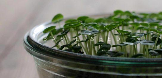 容器の中で栽培しているバジルスプラウト