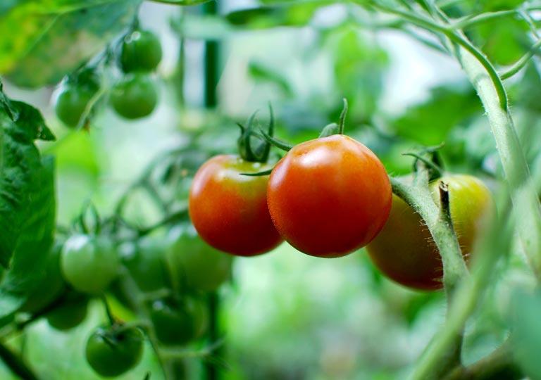 自宅のミニ菜園でのトマト