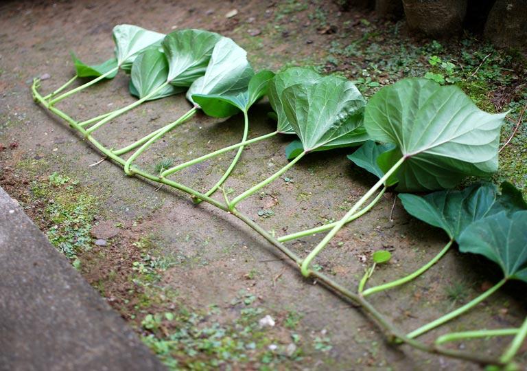 葉っぱの連なったさつまいもの茎